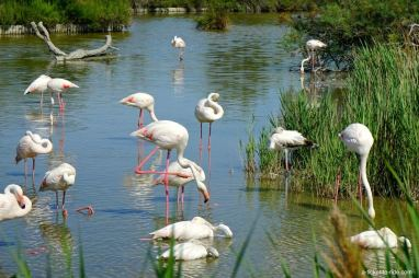 camargue-flament-rose